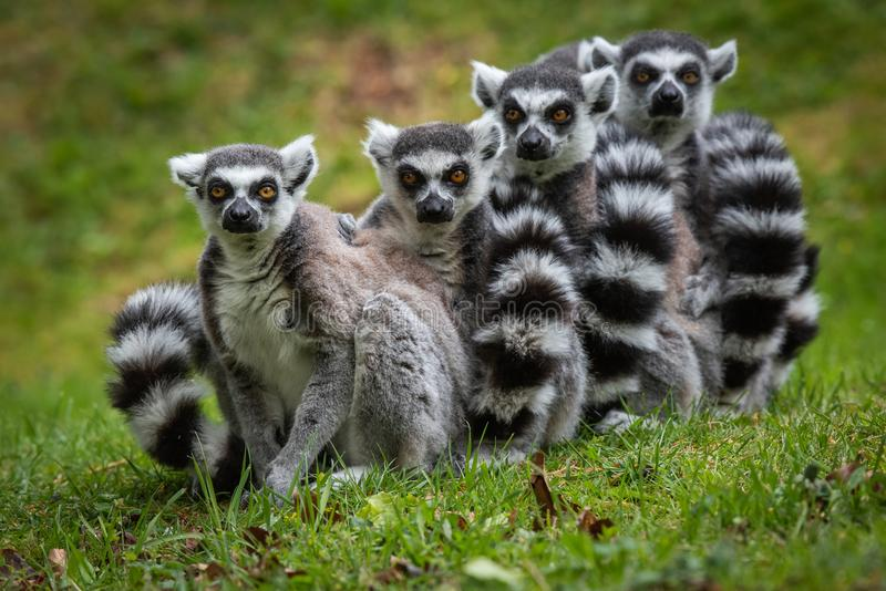 Family of Ring Tailed Lemurs posing for pictures. A family of Ring Tailed Lemurs lining up for the photographer royalty free stock image