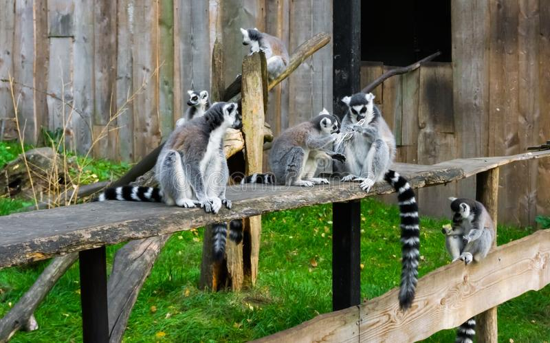 Family of ring tailed lemurs sitting together, group portrait of endangered monkeys from madagascar royalty free stock image
