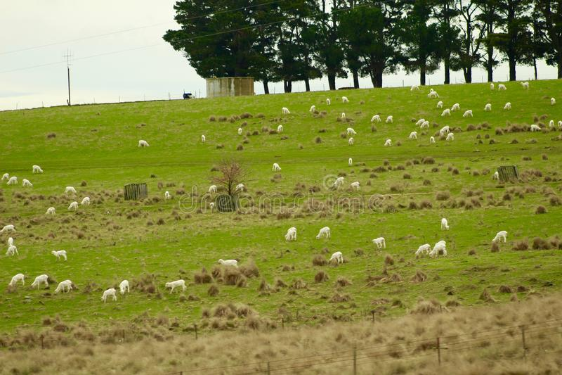 Family of sheep on the Road royalty free stock photography