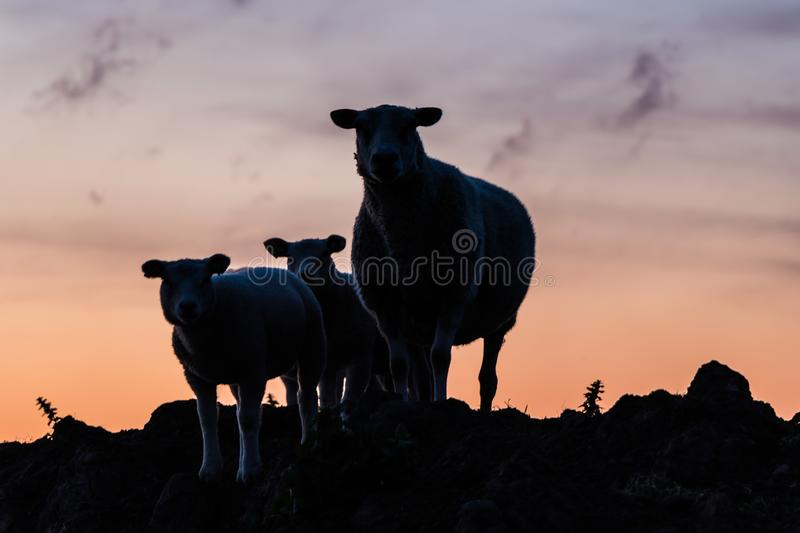 Family of sheep stock image