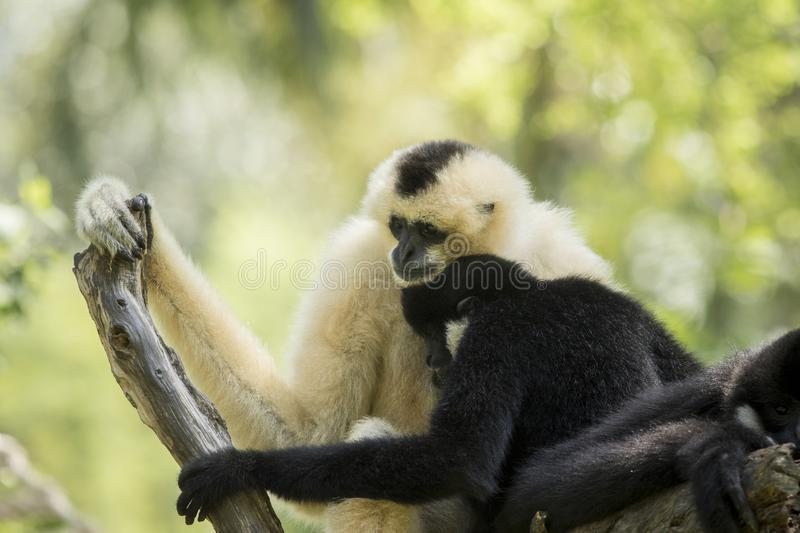 Family of sia mang gibbon on tree branch stock photography