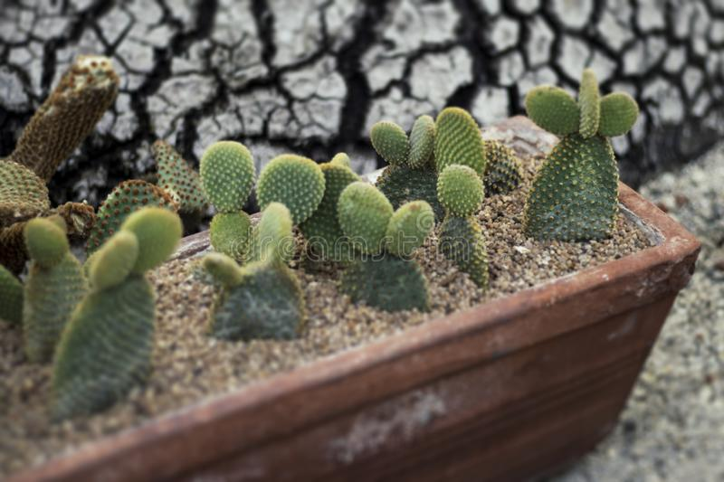Family of small cactus, cacti stock photography