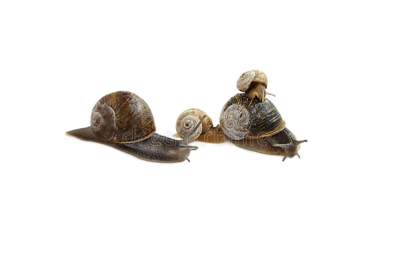 Download Family of snails. stock image. Image of shell, slimy - 10863779