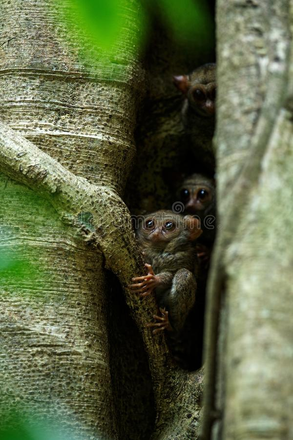 Family of spectral tarsiers, Tarsius spectrum, portrait of rare endemic nocturnal mammals, small cute primate in large ficus tree stock photography