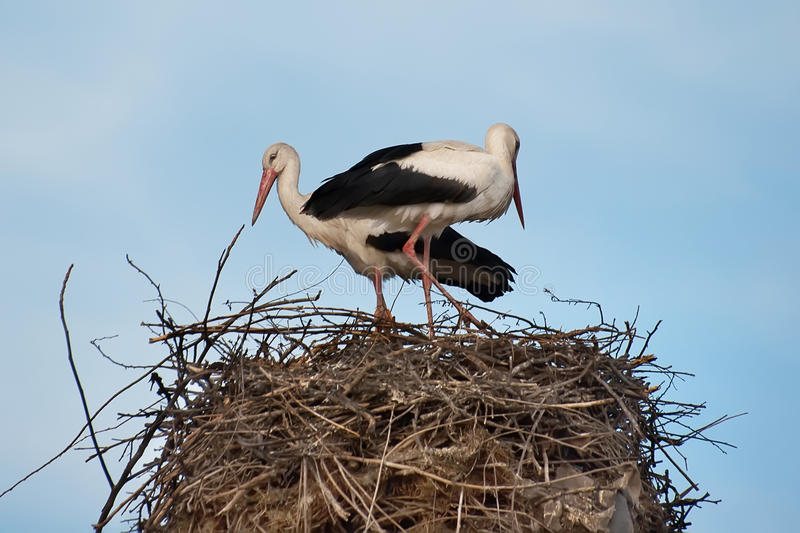 Download A Family Of Storks Is Preparing Their Nest Stock Photo - Image of pair, home: 48731844