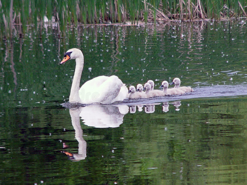Download Family Of Swans Stock Images - Image: 93634