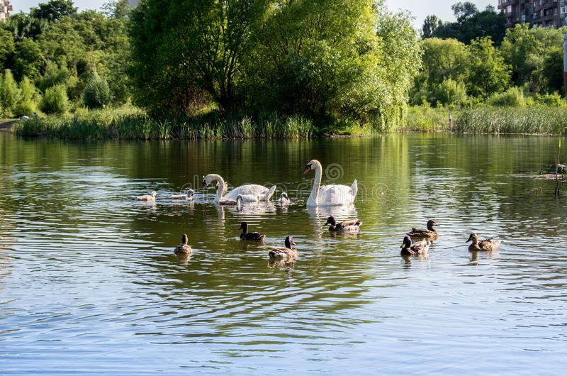 Family of swans with chicks and wild ducks. On the lake stock photos