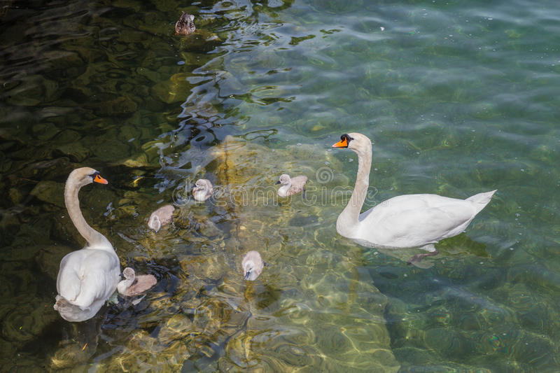 Family of swans in lake royalty free stock photo