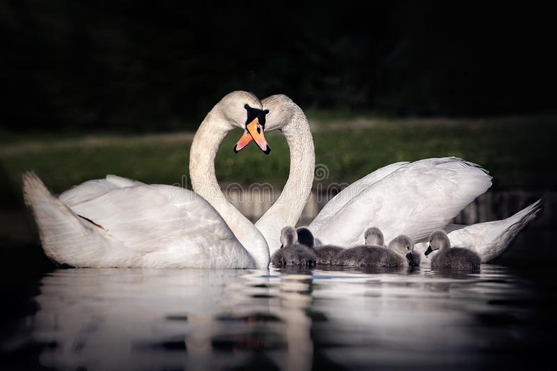Family of swans making a heart with their necks. Swans on river Avon in Evesham. Shallow depth of field with water and river bank as foreground and background stock images