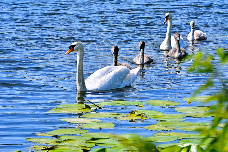 A family of swans on the river. royalty free stock image
