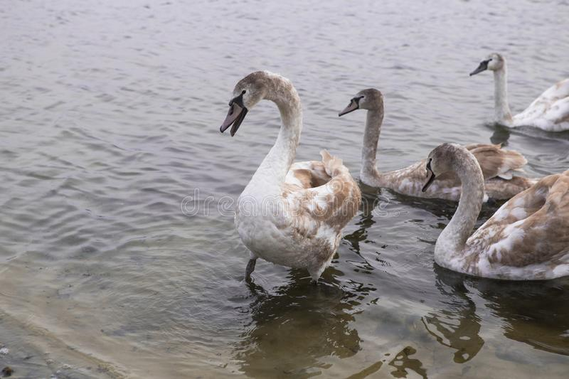 A family of swans swimming in the lake where one adult is the White Swan of parents. One large but still in the gray plumage of th royalty free stock images