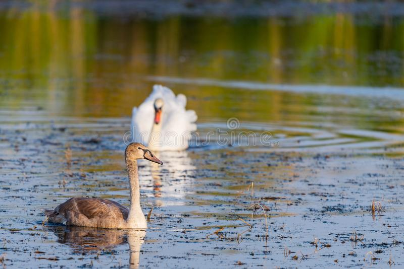 A family of swans swimming in the lake where one adult is the White Swan of parents. One large but still in the gray plumage of royalty free stock photos