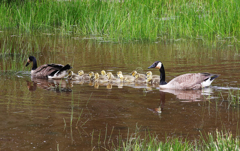 Download Family Swim stock image. Image of birds, family, geese - 39220931
