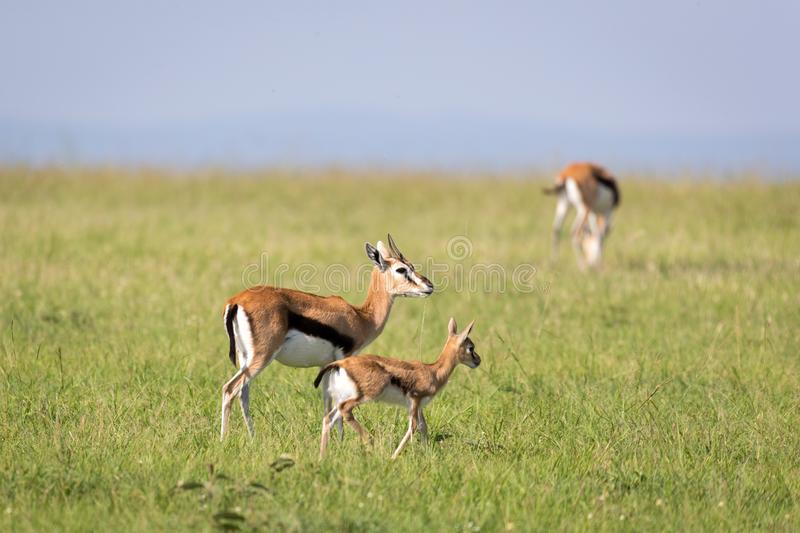 A family of Thomson gazelles in the savannah of Kenya. The family of Thomson gazelles in the savannah of Kenya stock image