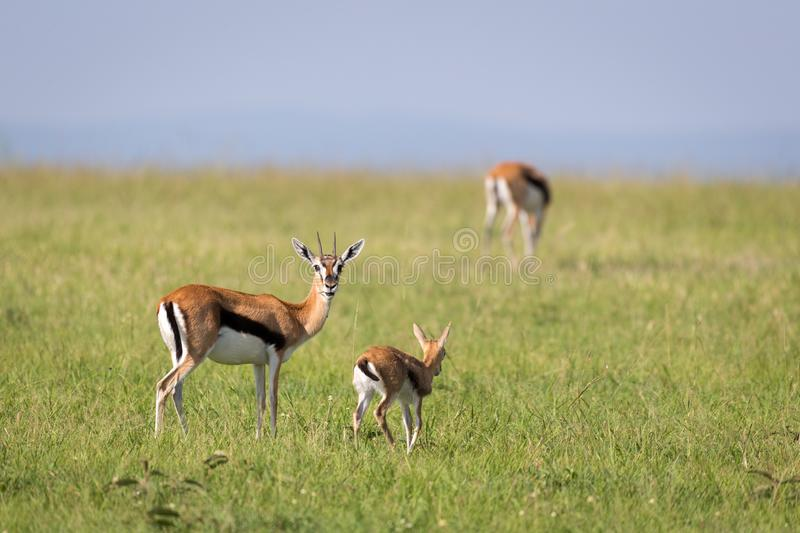 A family of Thomson gazelles in the savannah of Kenya. The family of Thomson gazelles in the savannah of Kenya stock images