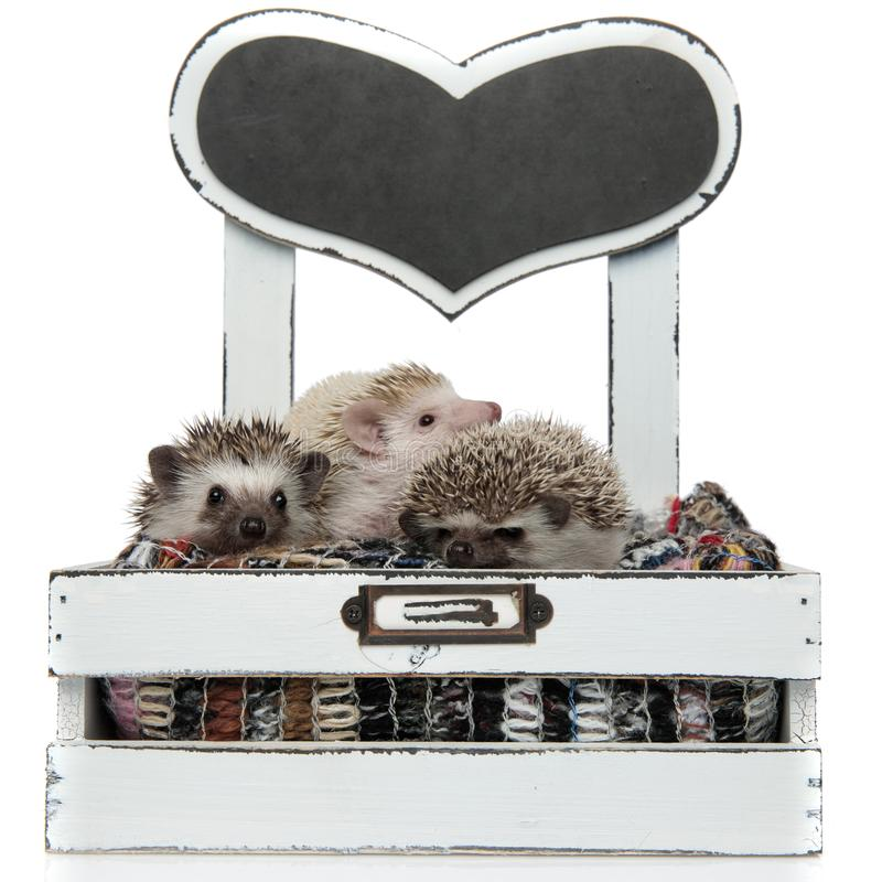 Family of three hedgehogs sitting in a box with wool stock photos