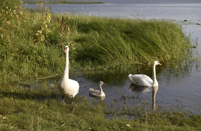 Family of three white swans. Natural landscape of Belarus, Russia and Baltic. Wild nature. stock photo