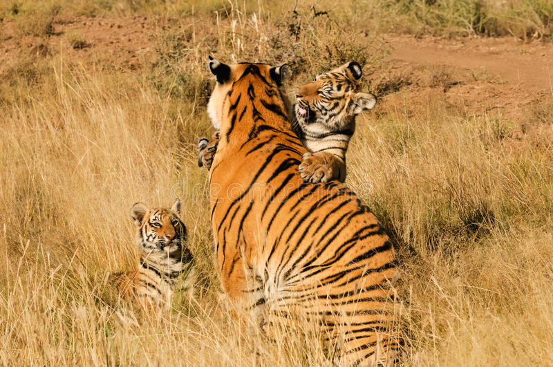 Family of tigers stock photo