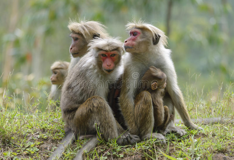Family toque macaque. One of the females is looking warily. A close look royalty free stock photos