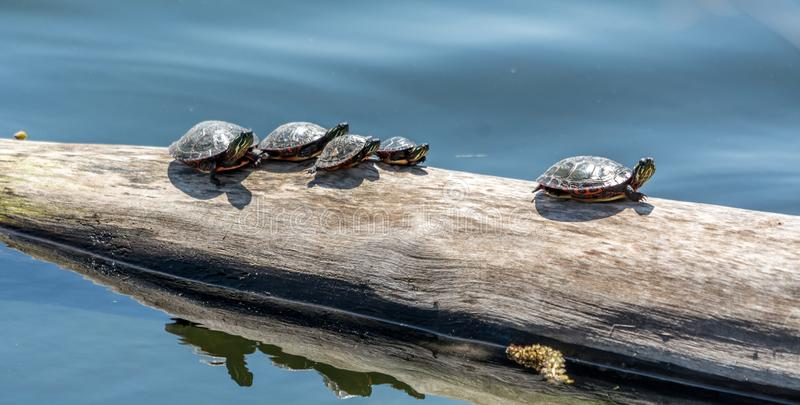 Family of Turtles Taking a Sunbath in Fauvel Lake, Quebec, Canada. Family of Turtles Taking a Sunbath in Fauvel Lake, Blainville, Quebec, Canada royalty free stock images