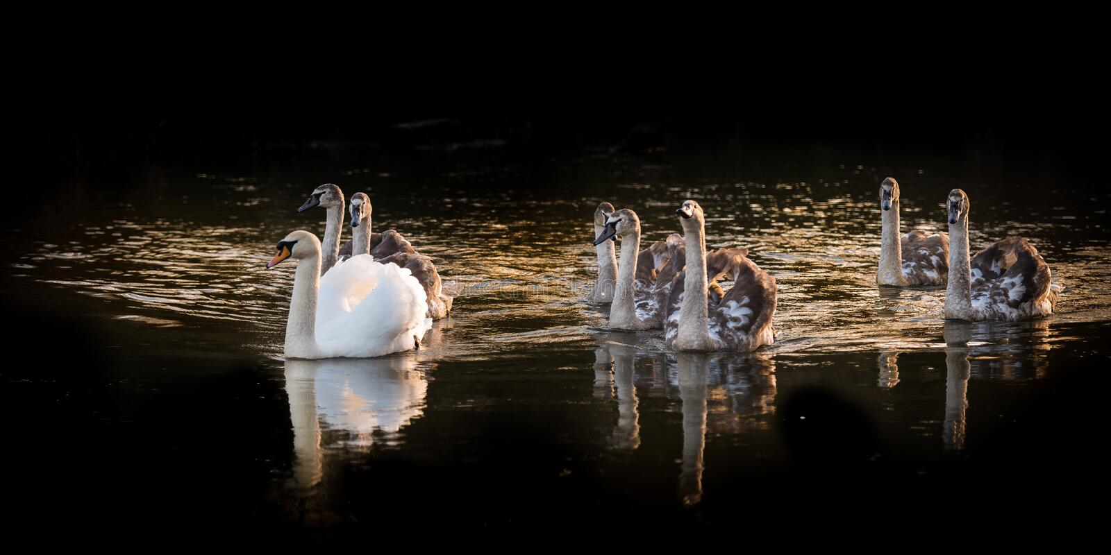 Family Of Eight Swans. Adult mute swan with seven yearling cygnets on River Yare stock images
