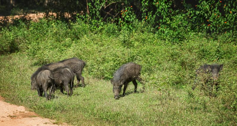 Family of warthogs stock images