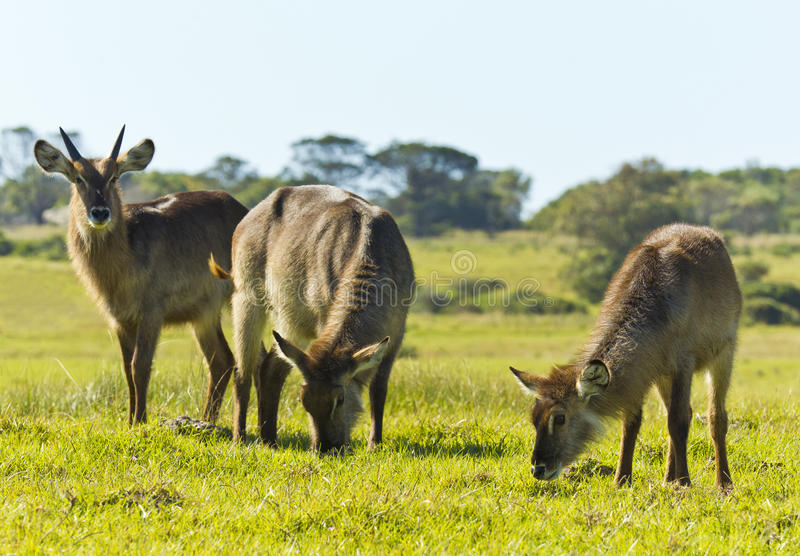 Family of waterbuck. Standing and eating grass in the afternoon sun royalty free stock photo