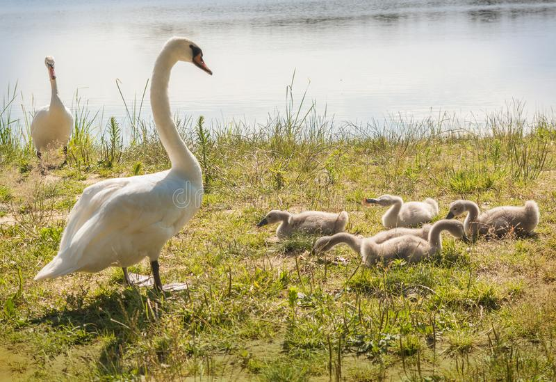 Family of white mute swans on shore. Family of white mute swans on a lake Svitiaz on a sunny day Shatsky National Natural Park royalty free stock image