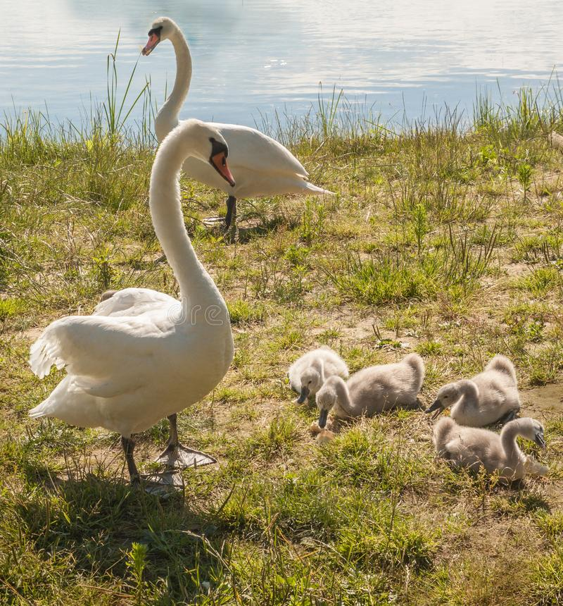 Family of white mute swans on shore. Family of white mute swans on a lake Svitiaz on a sunny day Shatsky National Natural Park stock photo