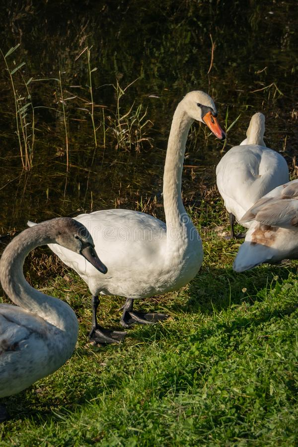 The family of white swans Cygnus olor sits on the grass of a lake in Goryachiy Klyuch. Krasnodar region. stock images