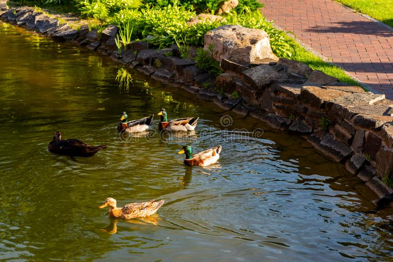 Family of wild ducks in an artificial pond stock photography