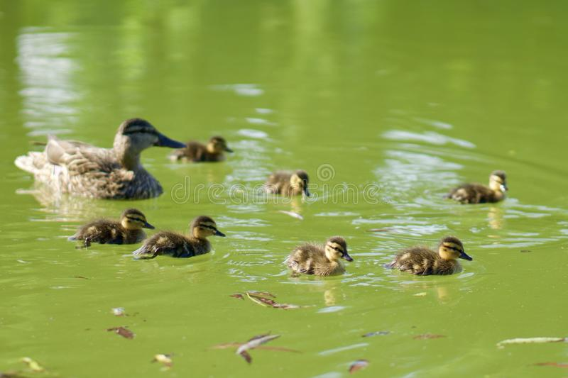 Family of wild ducks swimming on a green pond. High angle shot. Mother mallard and yellow fluffy ducklings stock image
