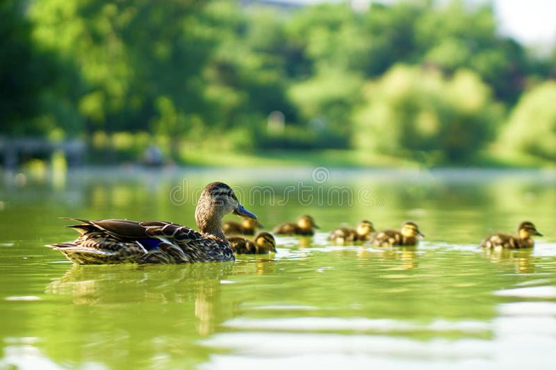Family of wild ducks swimming on a green pond royalty free stock photos