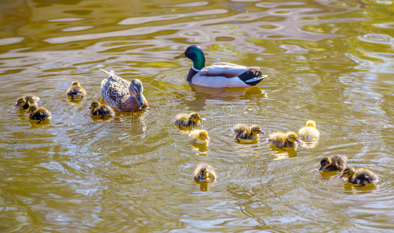 Family of wild ducks swims in a pond royalty free stock images