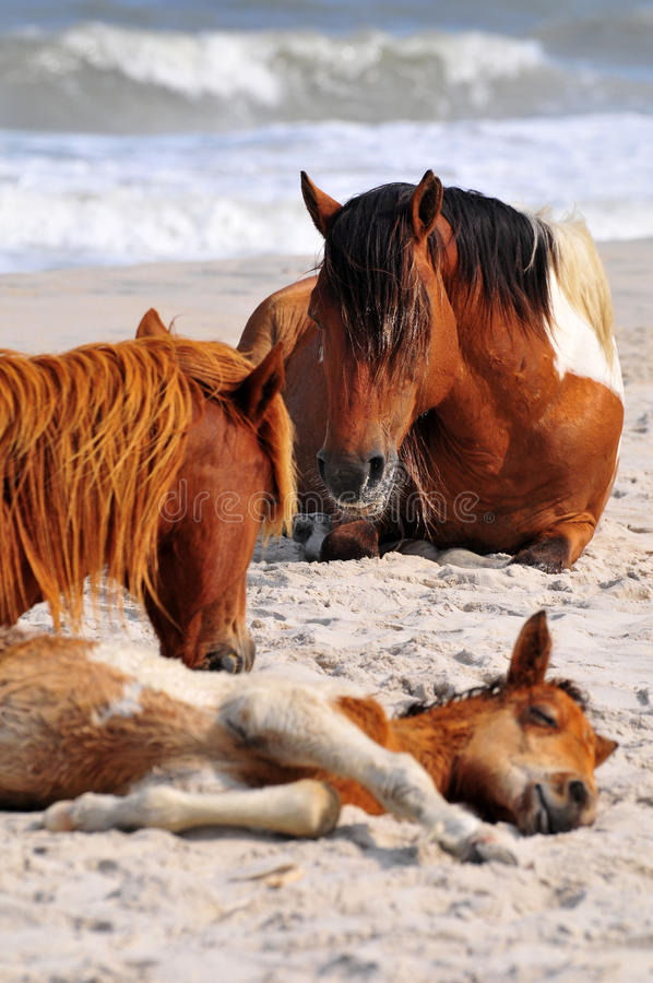 Family of wild horses royalty free stock images
