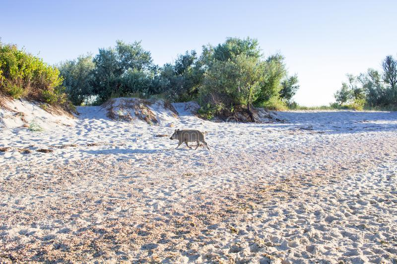 Family of wild pigs playing on sea beach coast royalty free stock photo