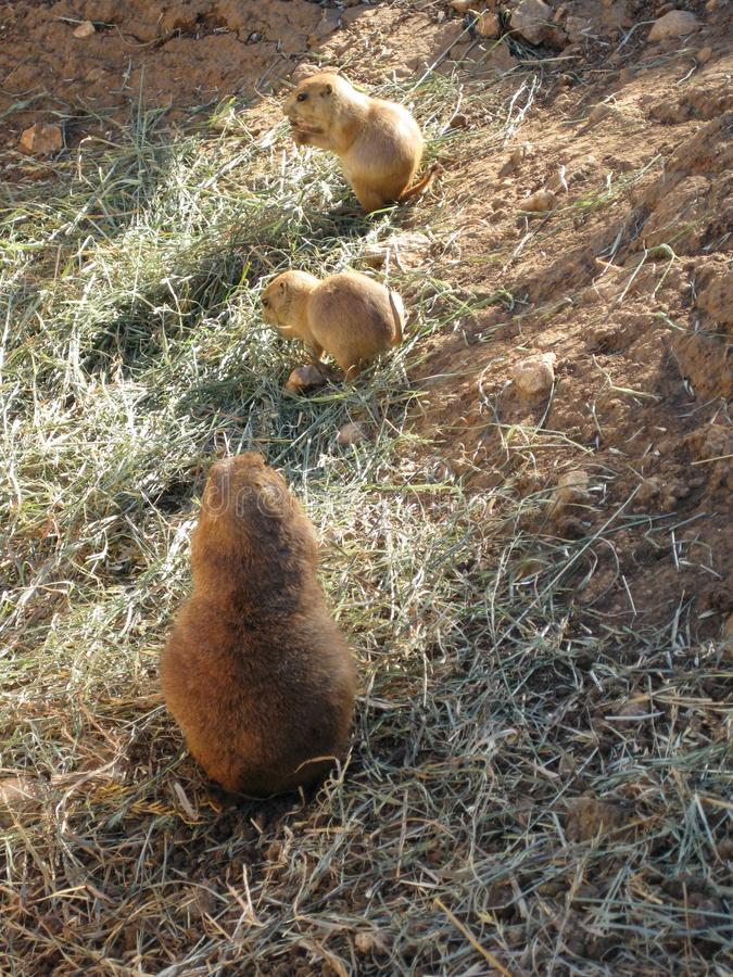 Family of wild rodents in search of food royalty free stock images