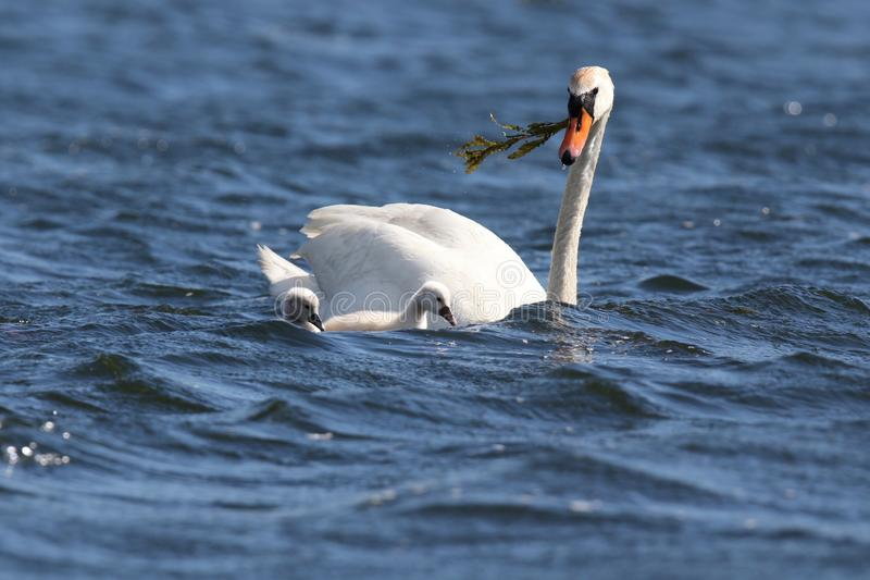 Swan Swimming with Cygnets  on a Windy Day. A family of young mute swan Cygnus olor cygnets swimming with the swan parent on a blue lake in Springtime on a windy royalty free stock photography
