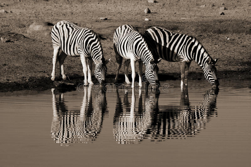 Family of zebras. A family of zebras drinking in africa stock photos