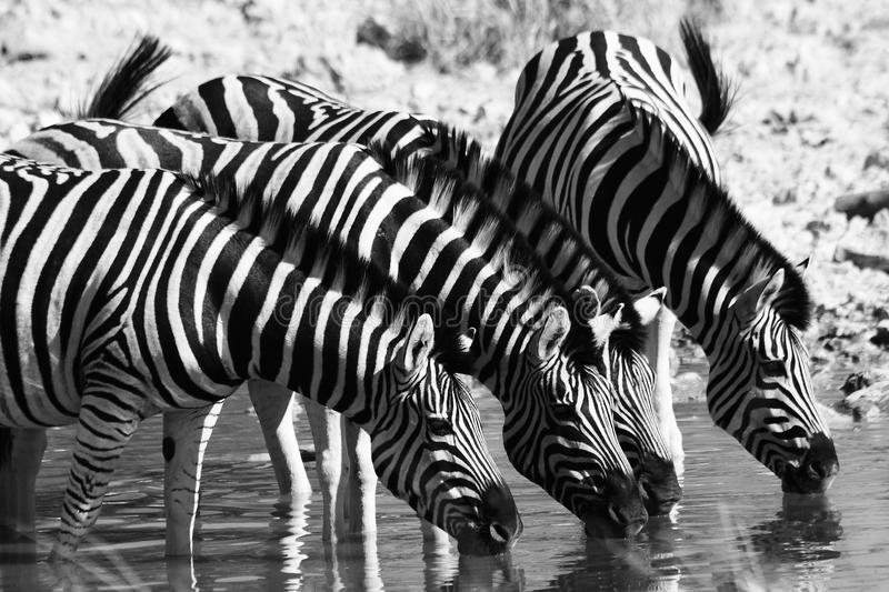 Family of zebras. A family of zebras drinking in africa royalty free stock photos