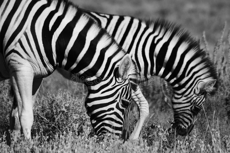 Family of zebras. A family of zebras drinking in africa royalty free stock image