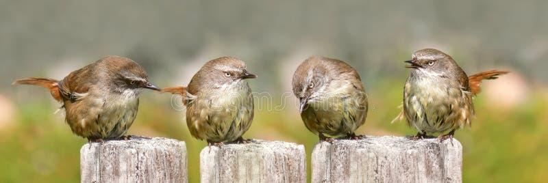Fammily of Scrub wrens singing royalty free stock photos