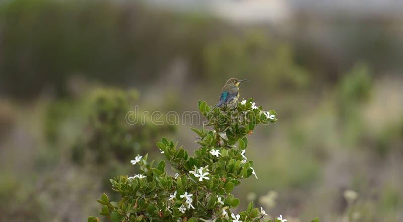 Famosa van malachiet sunbird Nectarinia stock afbeeldingen