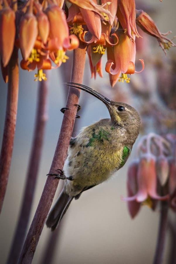 Famosa van malachietsunbirdnectarinia stock afbeeldingen