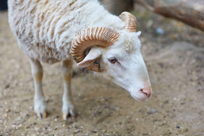 Famoso por sus ovejas de las lanas - aries del ammon del Ovis fotografía de archivo libre de regalías