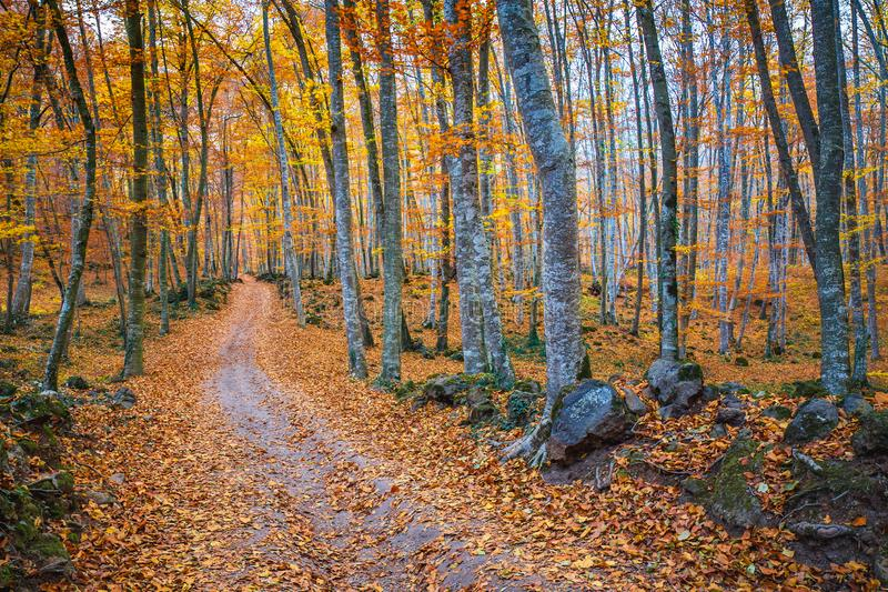 Famous beech forest in Spain, near the village Olot, near the volcanoes ambient La Fageda.  stock photography