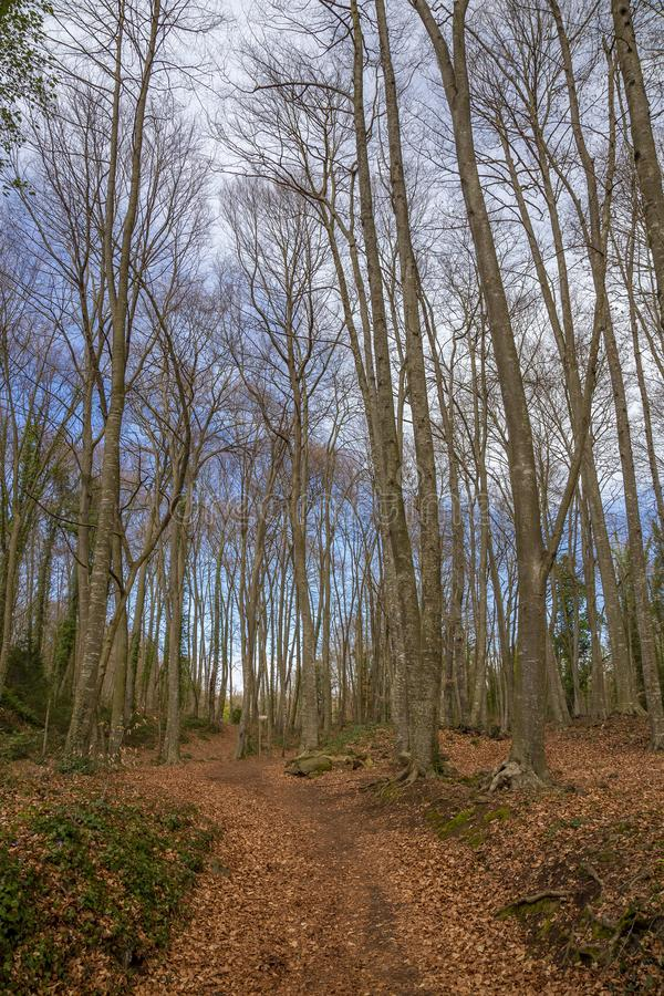 Famous beech forest in Spain, near the village Otot, near the volcanoes ambient La Fageda.  royalty free stock photos