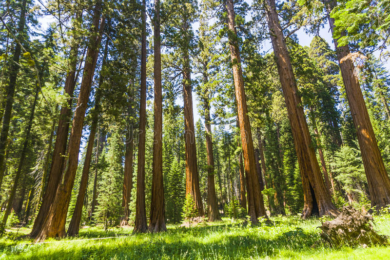 The famous big sequoia trees are standing in Sequoia National Park, Giant village area. Big famous Sequoia trees, mammut trees royalty free stock images