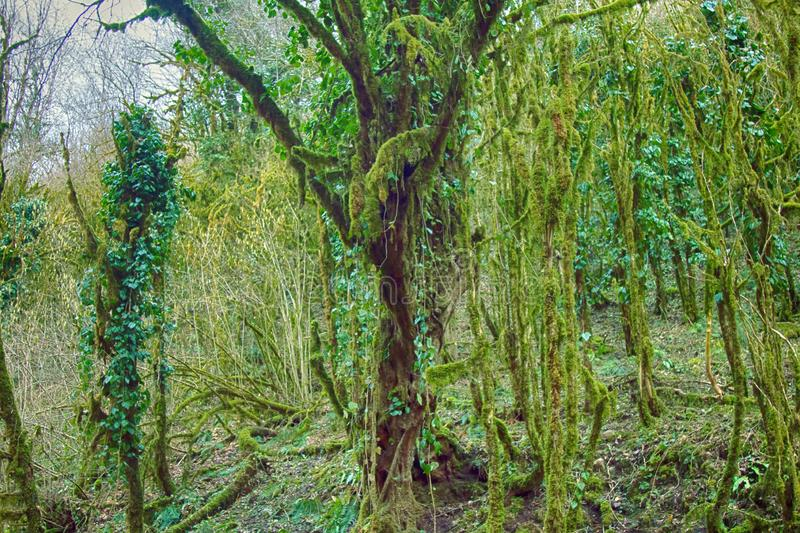 Famous Boxwood Colchis (Buxus colchica) subtropical evergreen covered Neckera moss. Vegetable relink pre-glacial Europe, saw Odysseus. Iron wood, not sink in royalty free stock photo