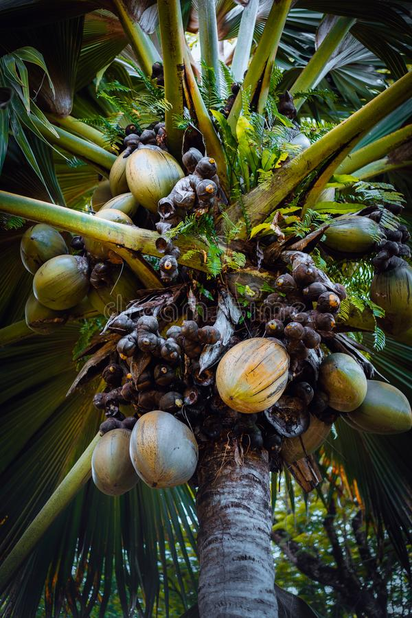 Famous Coco de Mer coconut palm tree in the botanical garden of Mahe, Seychelles royalty free stock images